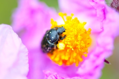 Black Bug on a pinky flower - slon.pics - free stock photos and illustrations