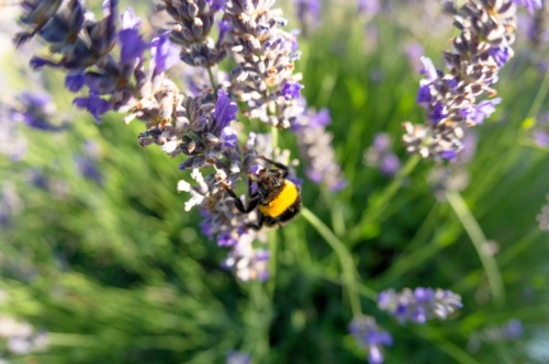 Bombus terrestris and the lavender flower - slon.pics - free stock photos and illustrations