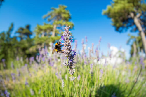 Bumblebee on lavender blossom - slon.pics - free stock photos and illustrations