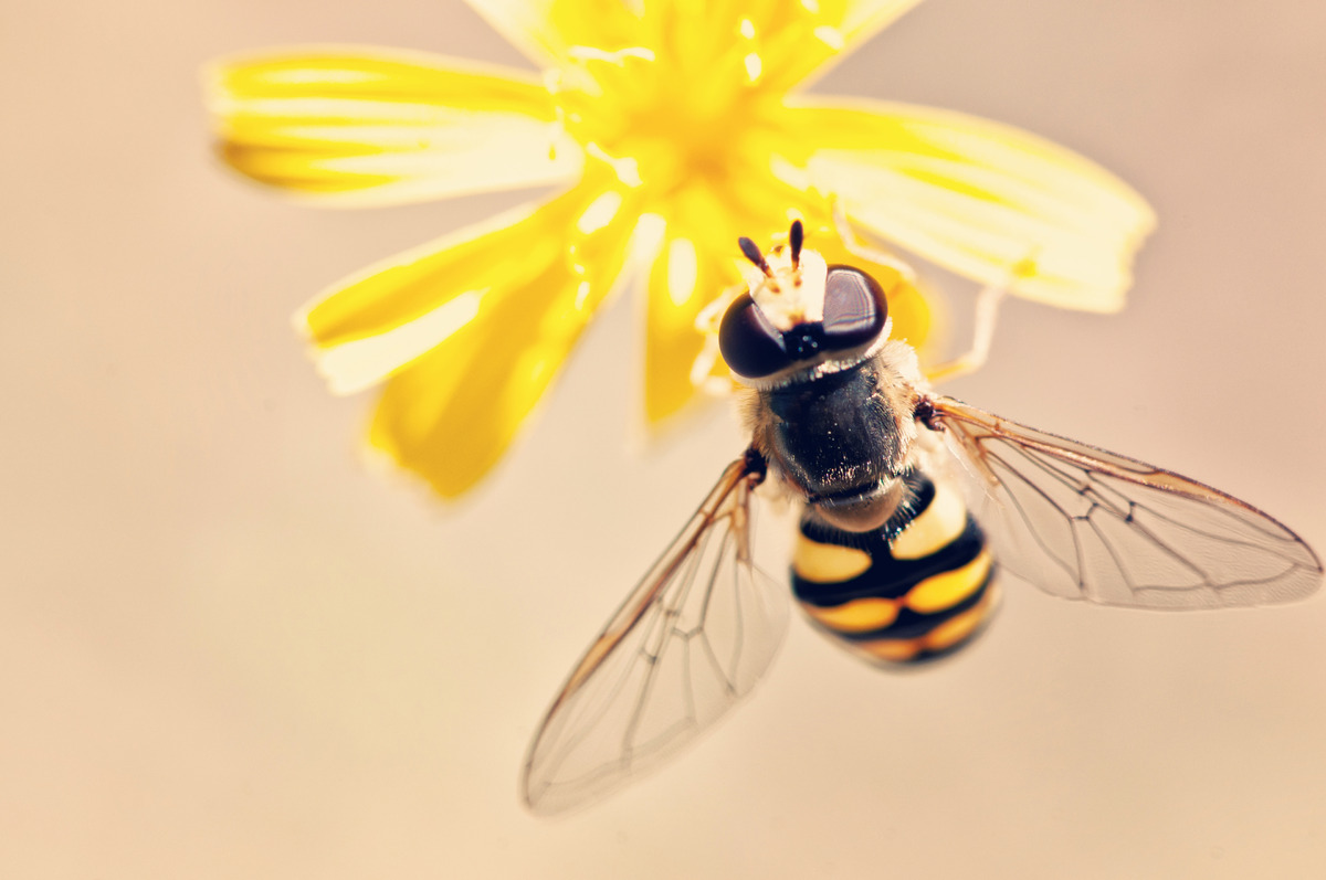 Macro catch of bee pollinating yellow flower - slon.pics - free stock photos and illustrations