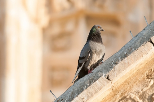 Pigeon on the ledge of an old building - slon.pics - free stock photos and illustrations