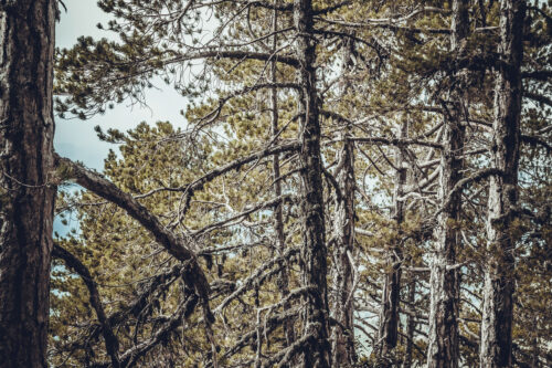 Pine forest - slon.pics - free stock photos and illustrations