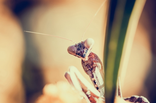 Praying mantis close-up - slon.pics - free stock photos and illustrations