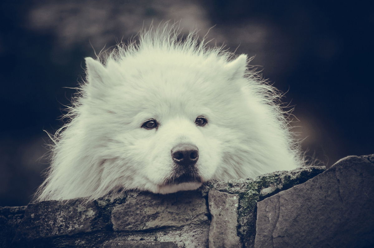 Sad looking Samoyed. Close-up portrait - slon.pics - free stock photos and illustrations