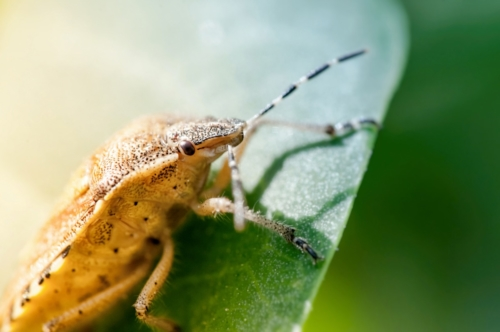 Shield bug, also known as stink bug on a plant - slon.pics - free stock photos and illustrations