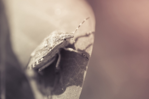 Shield bug on a leaf. Macro photo - slon.pics - free stock photos and illustrations