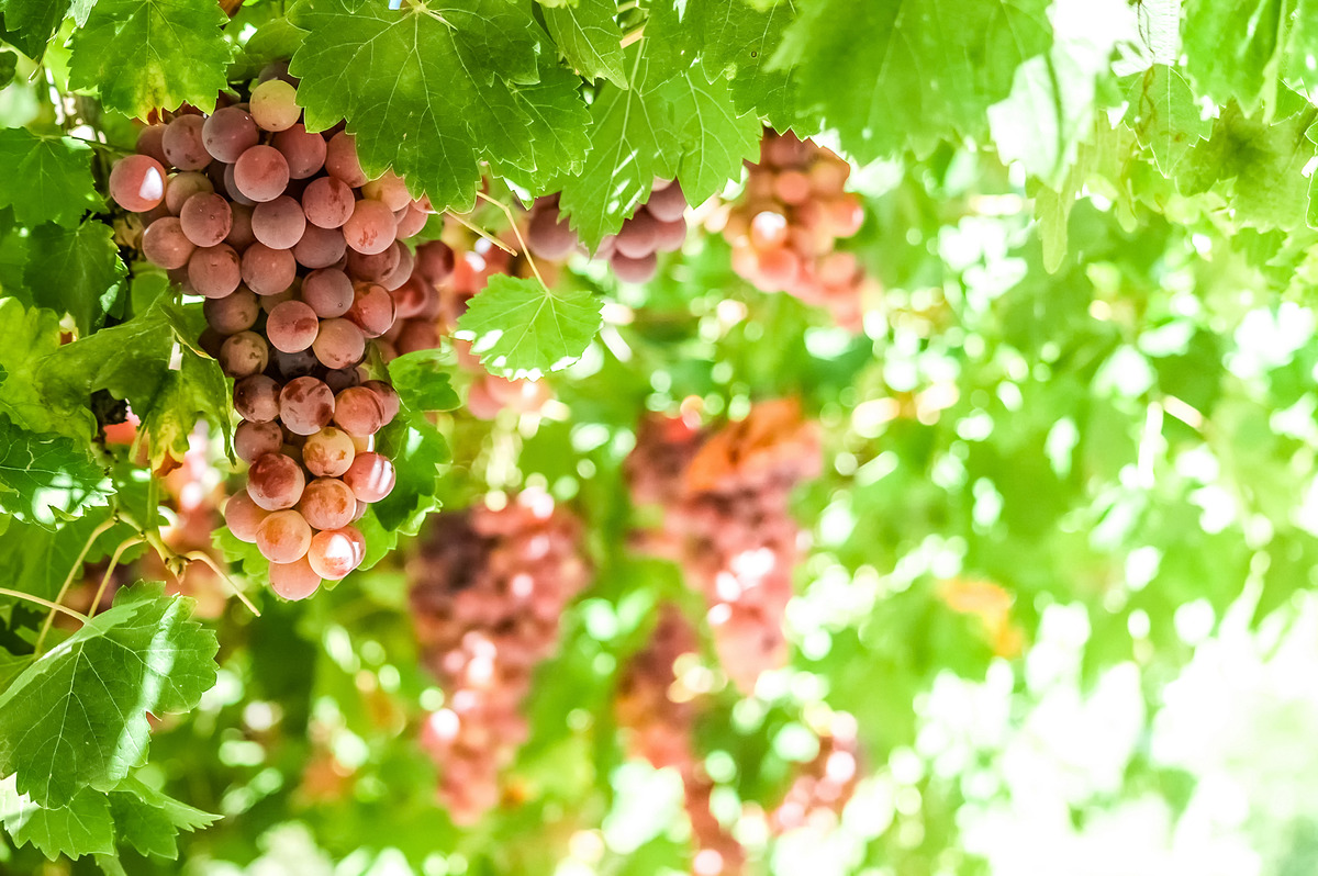 Single bunch of red grapes on vine - slon.pics - free stock photos and illustrations