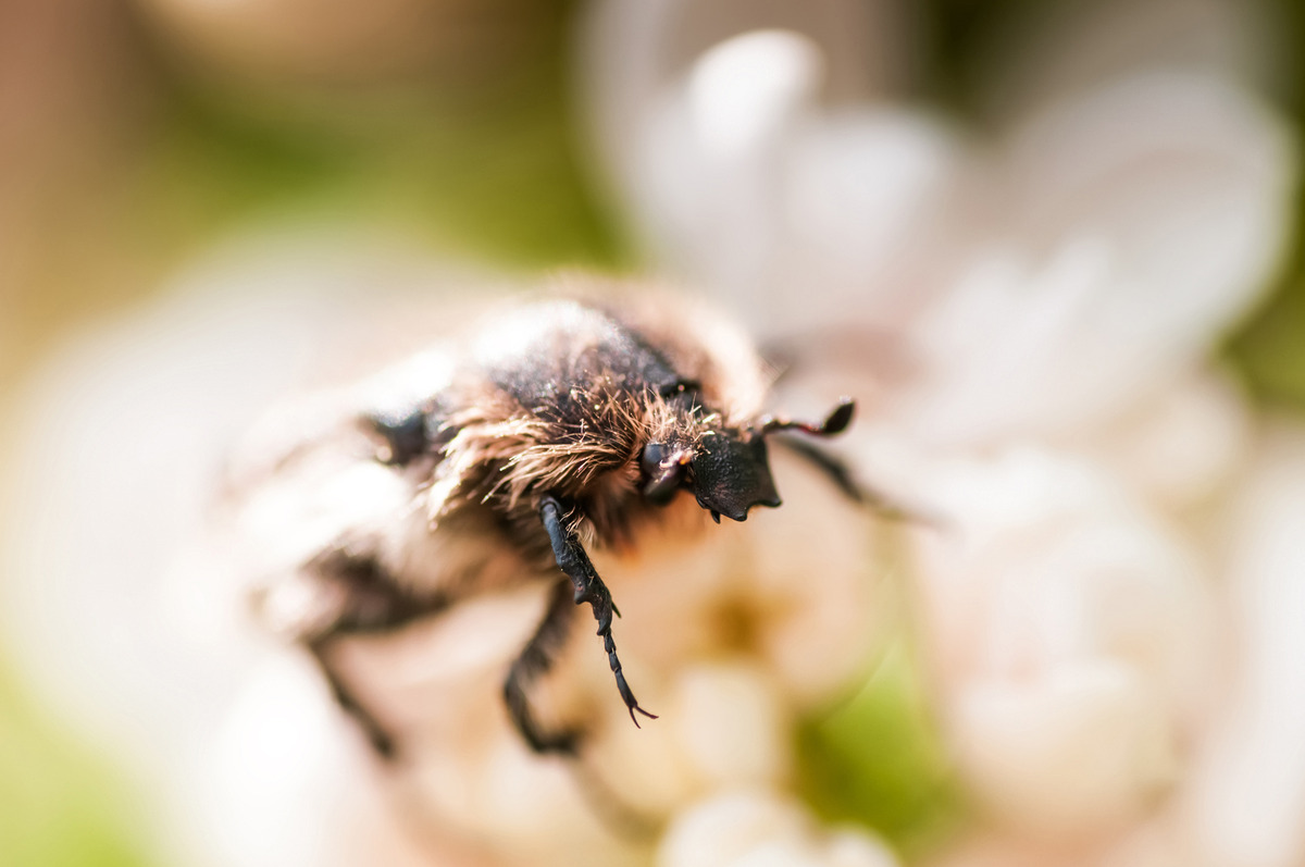 Unknown hairy bug on flower - slon.pics - free stock photos and illustrations