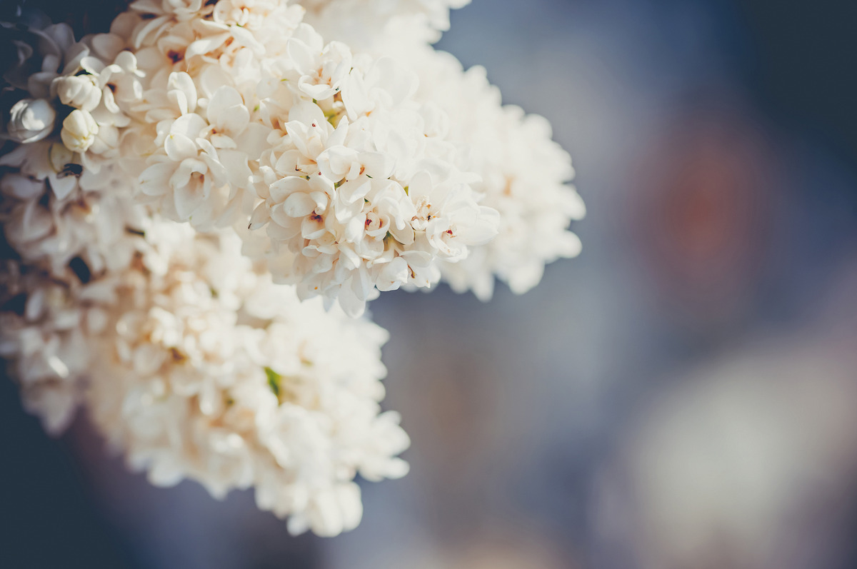 White lilac close-up - slon.pics - free stock photos and illustrations