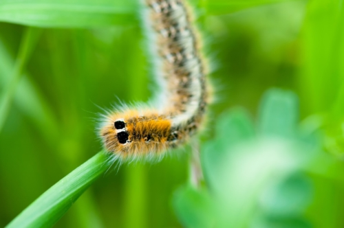 Yellow hairy caterpillar on green leaf - slon.pics - free stock photos and illustrations