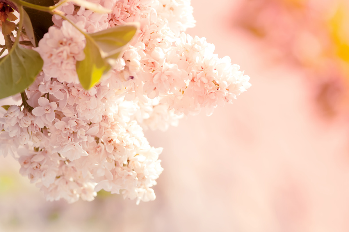 Beautiful lilac flowers close-up - slon.pics - free stock photos and illustrations