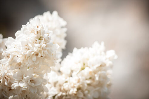 Blooming Lilac Flowers - slon.pics - free stock photos and illustrations