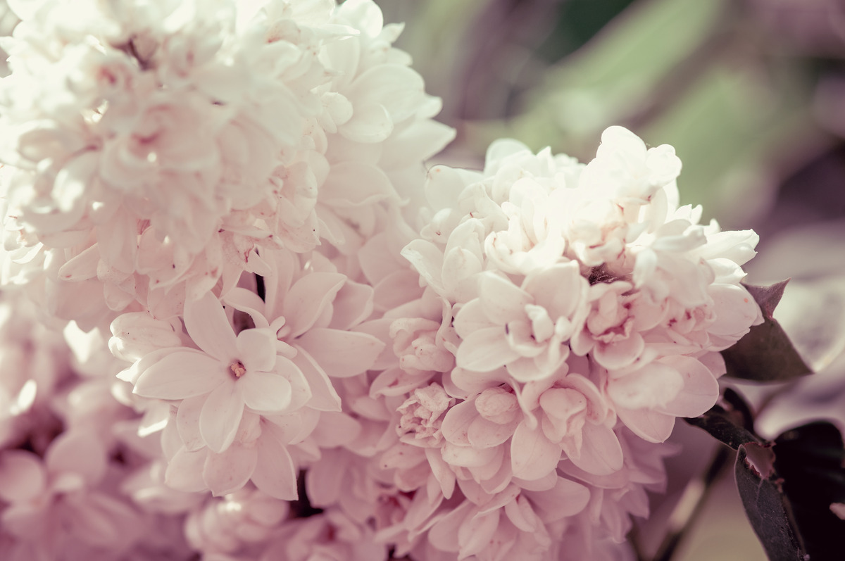 Branch of white lilac flowers - slon.pics - free stock photos and illustrations