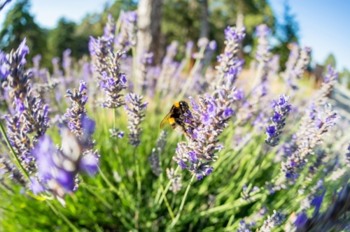 Bumblebee perching on Lavender flower - slon.pics - free stock photos and illustrations