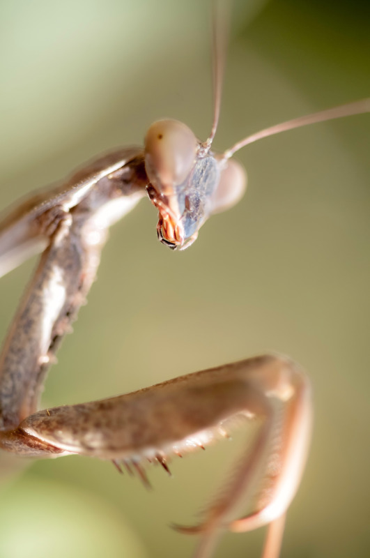Close-up of praying mantis - slon.pics - free stock photos and illustrations