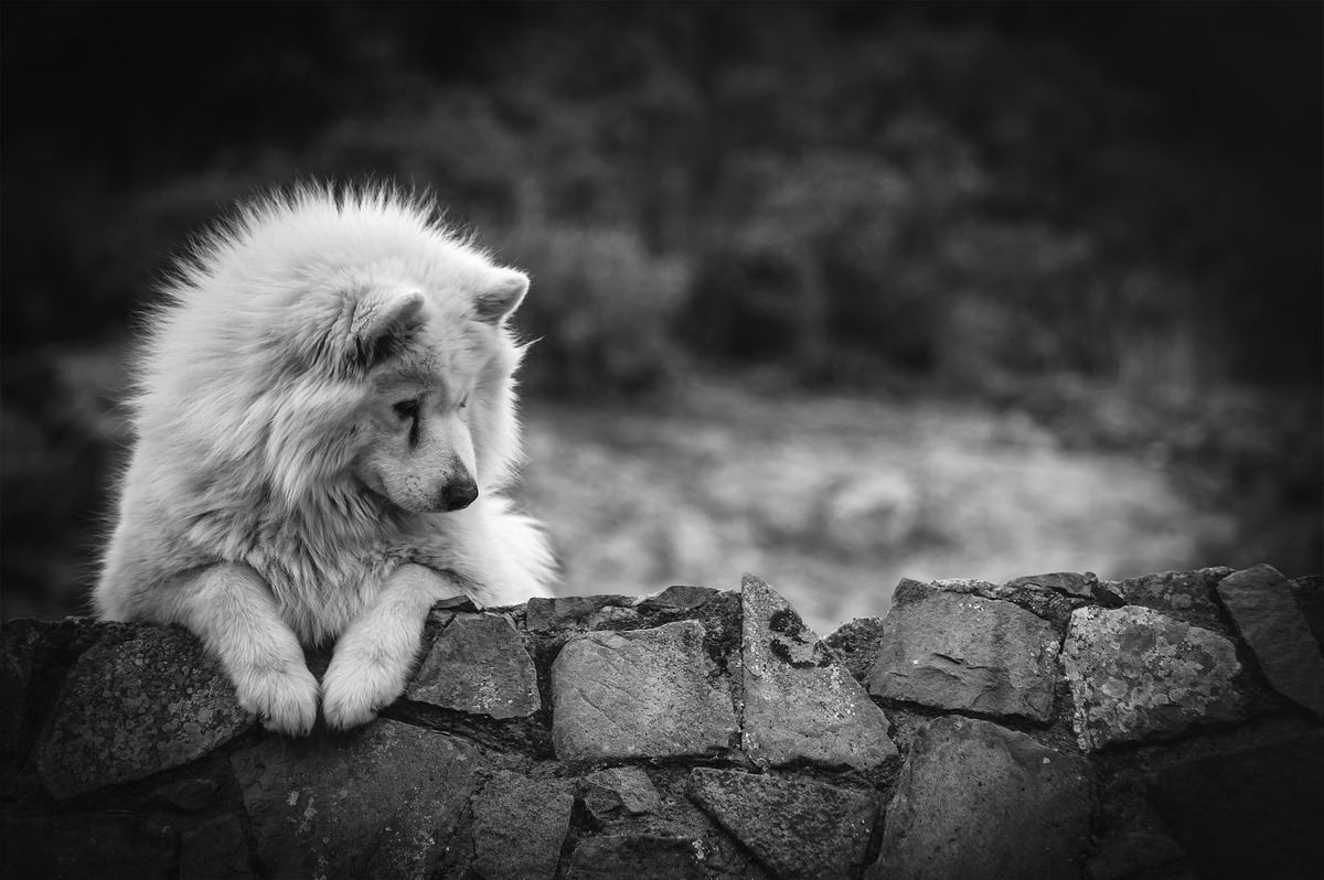 Portrait of Samoyed dog with some copyspace - slon.pics - free stock photos and illustrations