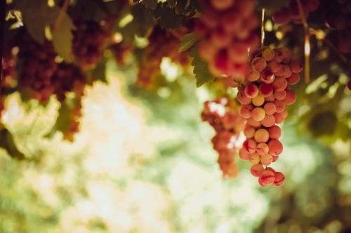 Red grape bunches hanging from vine in sun light - slon.pics - free stock photos and illustrations