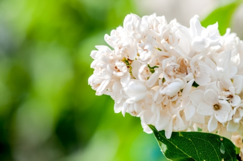 White Lilac - slon.pics - free stock photos and illustrations