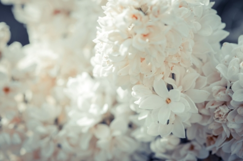 White lilac blossom, selective focus - slon.pics - free stock photos and illustrations