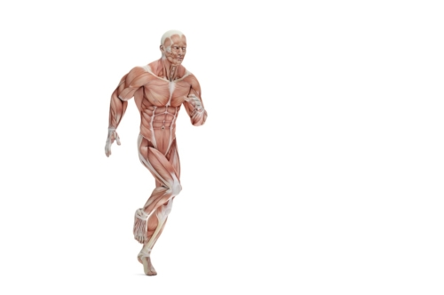 Anatomical illustration of a runner. 3D illustration. Isolated. Contains clipping path - slon.pics - free stock photos and illustrations