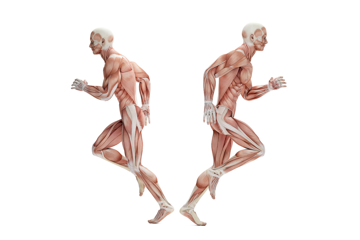 Anatomy of a runner. 3D illustration. Isolated. Contains clipping path - slon.pics - free stock photos and illustrations