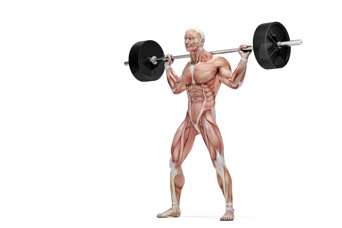 Barbell exercises. Anatomical illustration. Isolated over white. Contains clipping path - slon.pics - free stock photos and illustrations