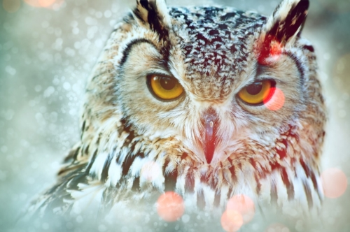 Bengalese Eagle Owl (Bubo bengalensis). Close-up portrait - slon.pics - free stock photos and illustrations