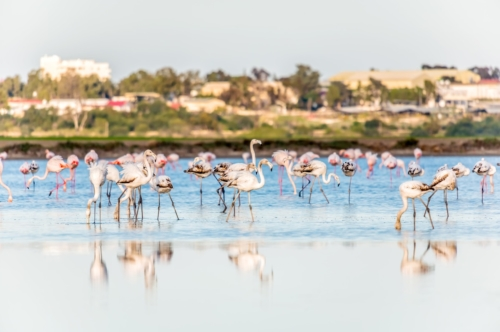 Flamingos at the salt lake of Larnaca, Cyprus - slon.pics - free stock photos and illustrations