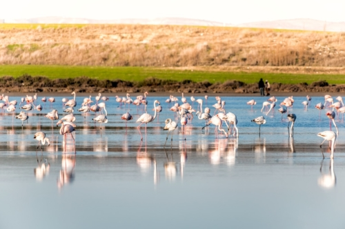 Group of Flamingoes feeding at the Salt lake of Larnaca, Cyprus - slon.pics - free stock photos and illustrations