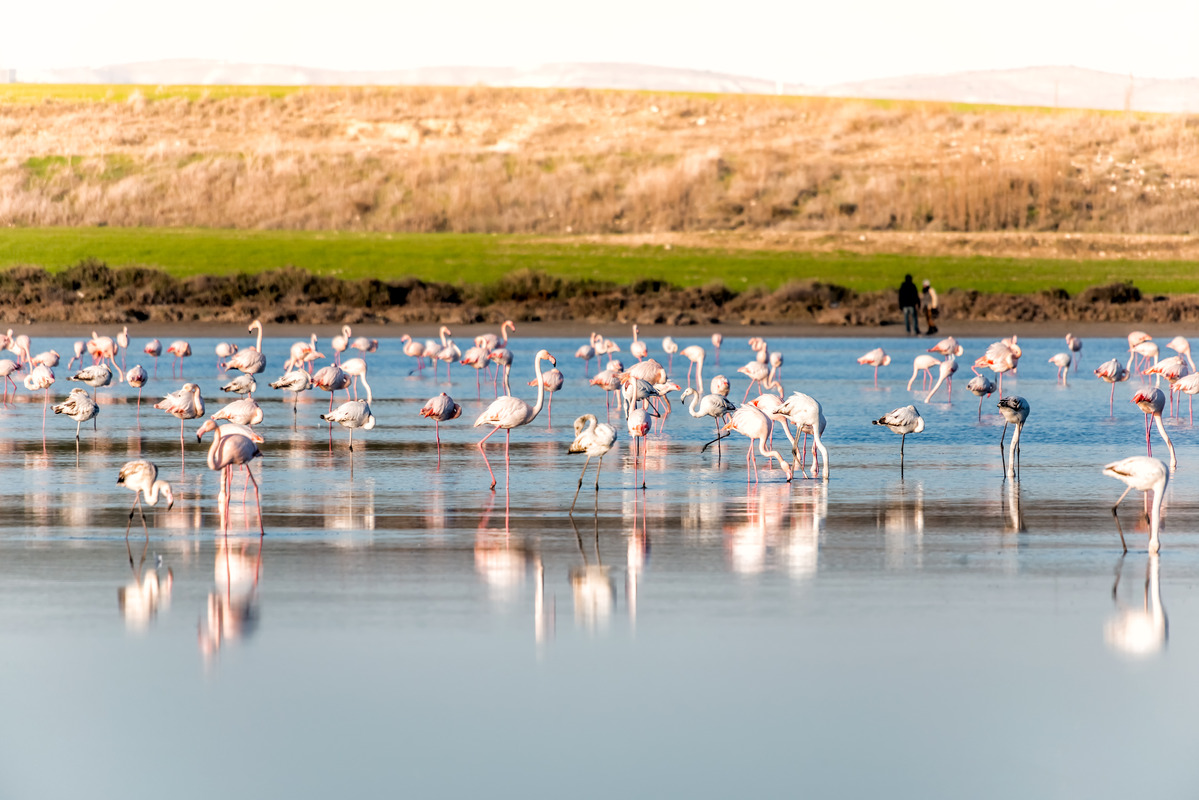 Group of Flamingoes feeding at the Salt lake of Larnaca, Cyprus - slon.pics - free stock photos and illustrations