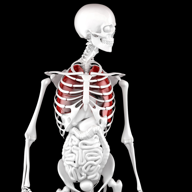 Human Male Anatomy. Skeleton and Highlighted Lungs. 3D illustration. Contains clipping path - slon.pics - free stock photos and illustrations