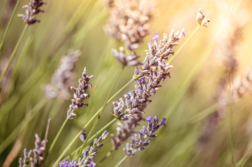 Lavender Flowers. Macro close-up. Color tone tuned - slon.pics - free stock photos and illustrations