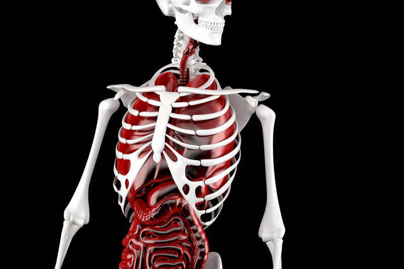 Male Human Anatomy. Skeleton and Internal Organs. 3D illustration. Contains clipping path - slon.pics - free stock photos and illustrations