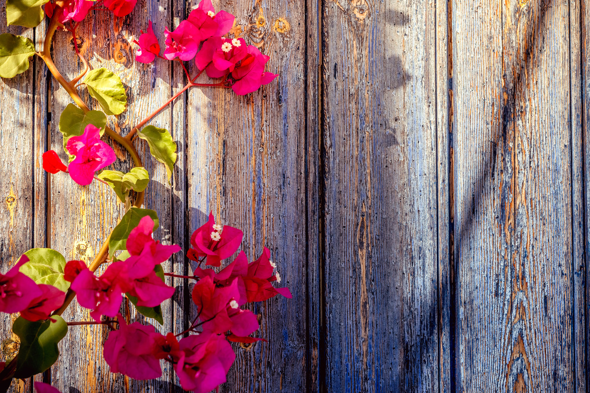 Old wooden door with bougainvillea - slon.pics - free stock photos and illustrations