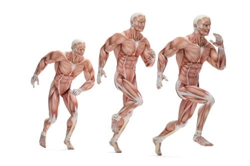 Running cycle. 3D Anatomical illustration. Isolated. Contains clipping path - slon.pics - free stock photos and illustrations