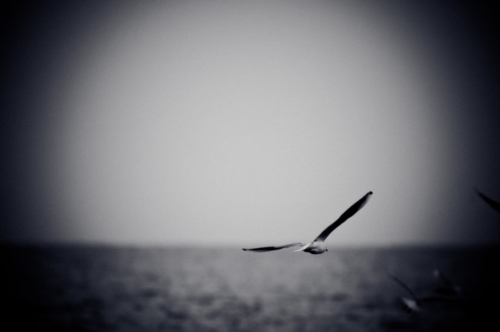 Seagull soaring over sea. Black and white photo with film grain effect - slon.pics - free stock photos and illustrations