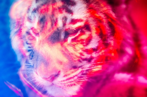 Tiger head. Illustration - slon.pics - free stock photos and illustrations