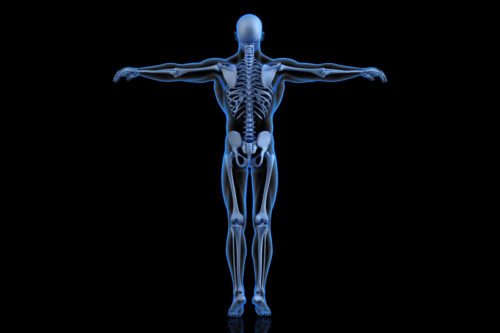 Human Skeleton. Back view - slon.pics - free stock photos and illustrations