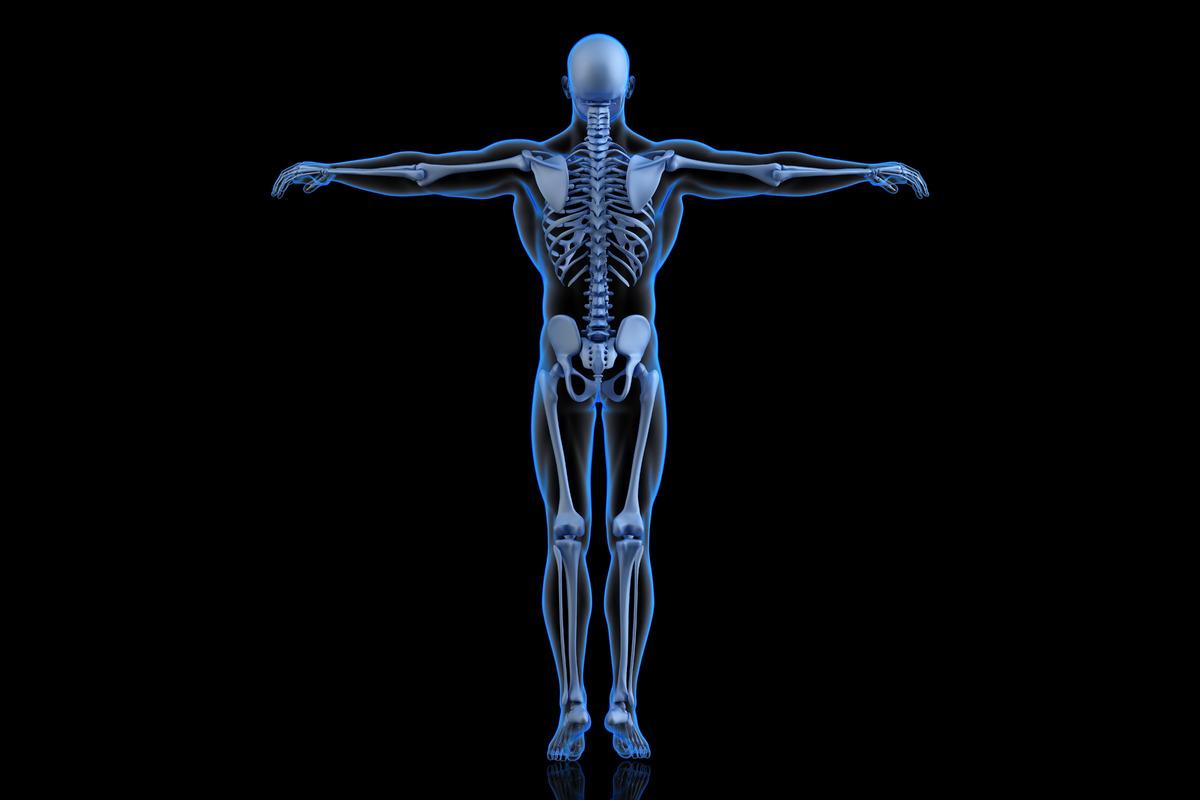 Human Skeleton. Back view - slon.pics - free stock photos and illustrations