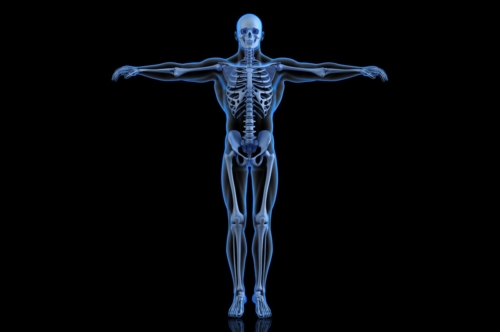Human Skeleton. Front view - slon.pics - free stock photos and illustrations