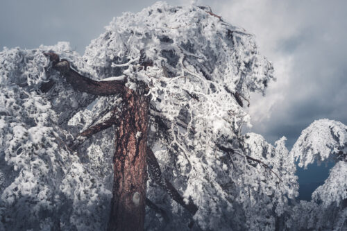 Snow Covered Pine - slon.pics - free stock photos and illustrations