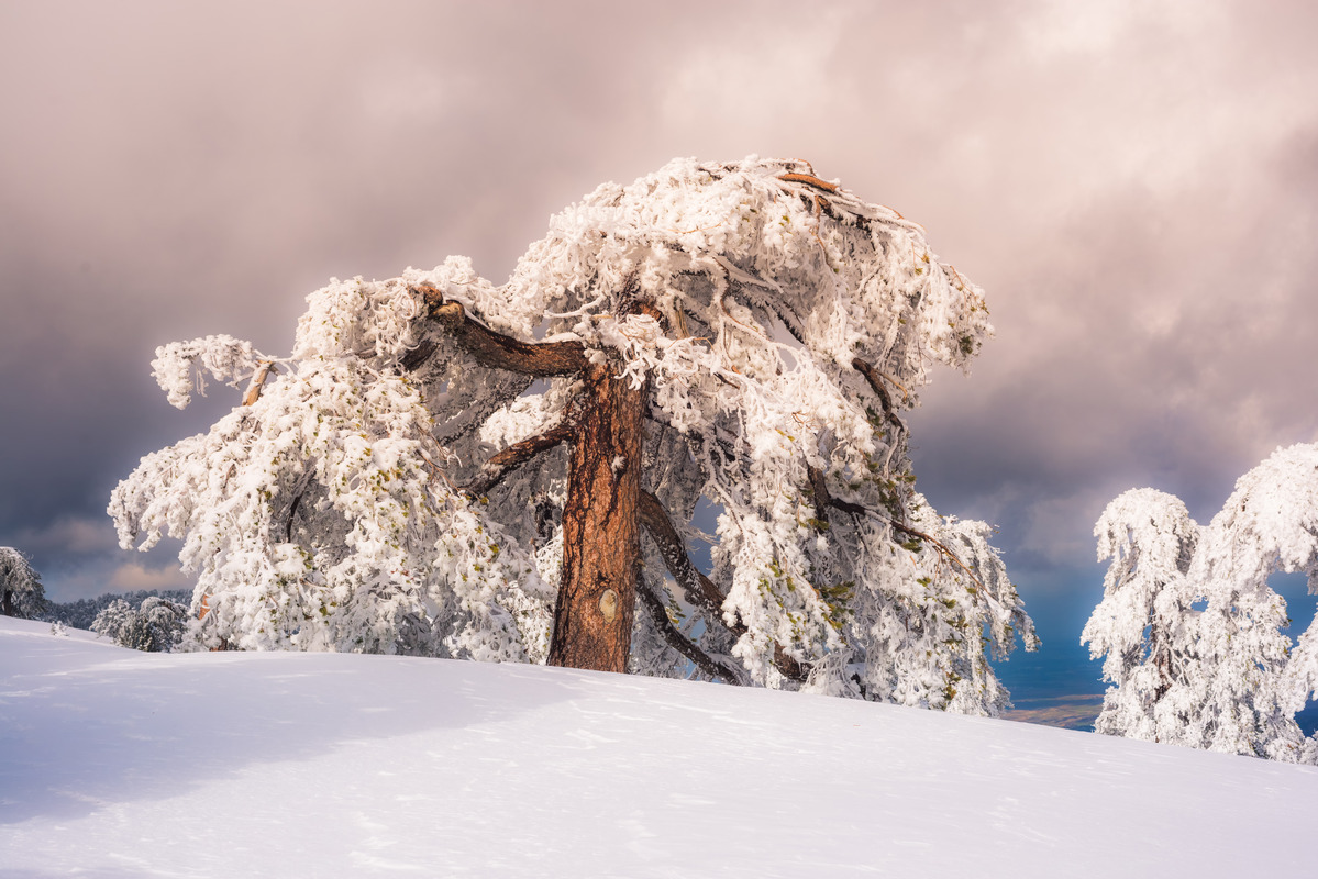 Winter scenery with snowy pine - slon.pics - free stock photos and illustrations