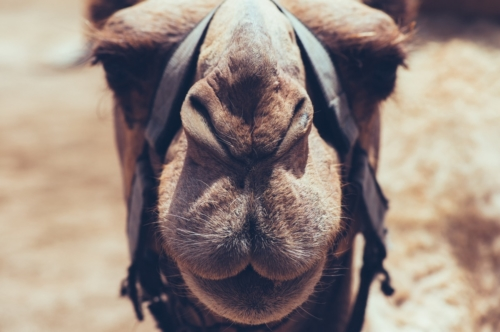 Camel face close-up - slon.pics - free stock photos and illustrations