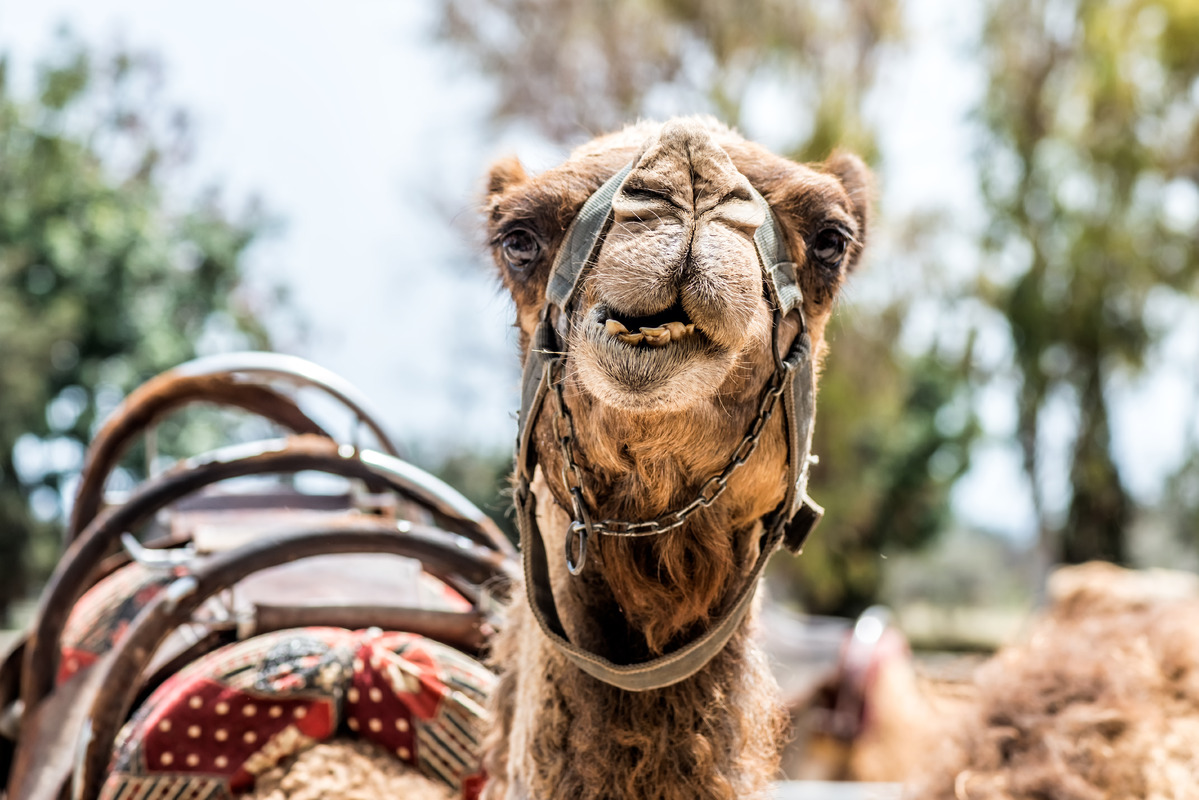 A curious camel - slon.pics - free stock photos and illustrations