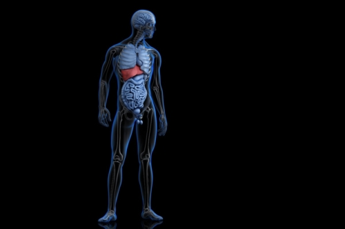 Illustration of human anatomy with highlighted liver - slon.pics - free stock photos and illustrations