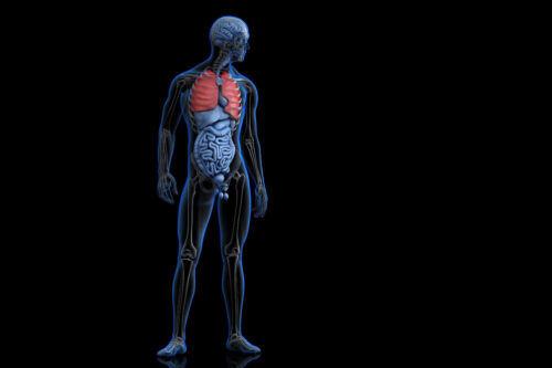 Illustration of human anatomy with highlighted lungs - slon.pics - free stock photos and illustrations