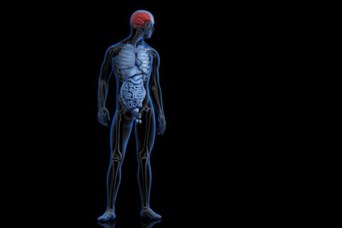 Illustration of human anatomy with highlighted brain. 3D illustration. Contains clipping path - slon.pics - free stock photos and illustrations