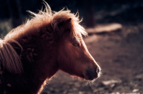 A small brown shetland pony - slon.pics - free stock photos and illustrations