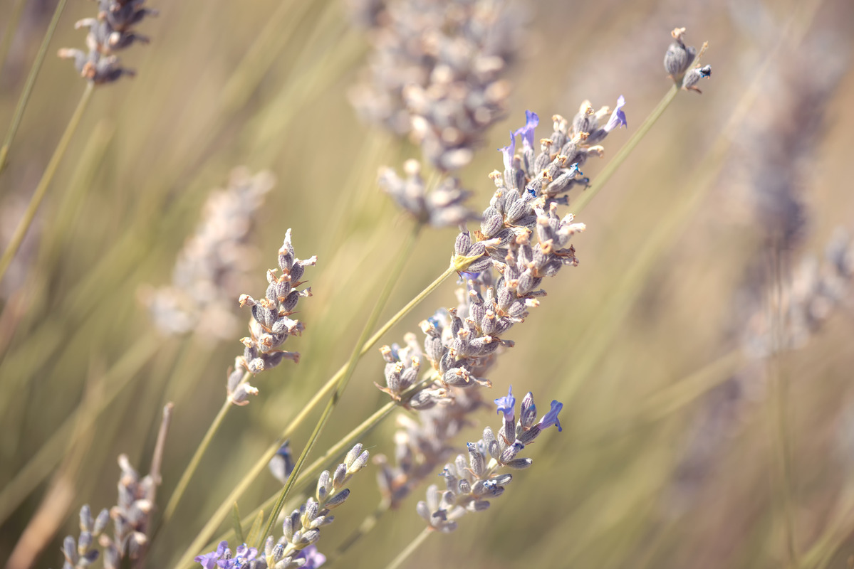 Blooming leaning lavender - slon.pics - free stock photos and illustrations