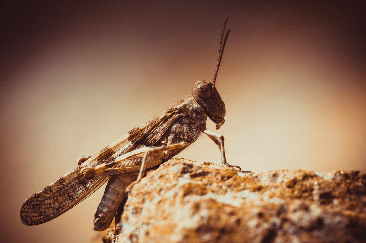 Brown grasshopper. Side view - slon.pics - free stock photos and illustrations